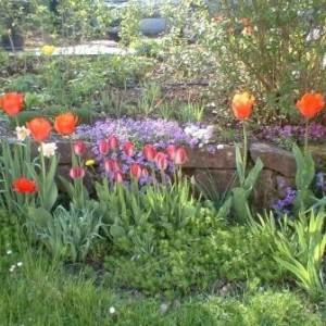 Ein Tulpenbeet im Mai